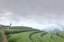 柘荣的生态茶园
