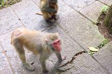 金鞭溪的猴子