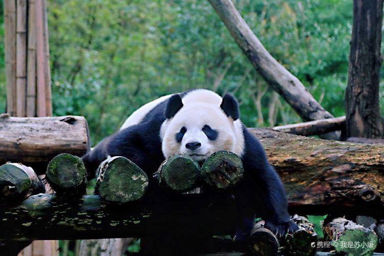 중국 자이언트판다 보호연구센터, 두장옌기지2