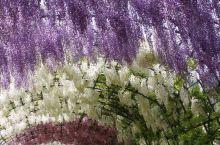 伊藤隧道,美不胜收,令人流连忘返 紫藤隧道位于九州的河内藤园中,竞相开放的紫藤花使得隧道格外的绚烂和