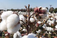 大城市的人没有见过棉花,棉花地拍照留影也是美美哒。