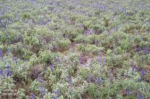 紫色薰衣草