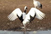 扎龙自然保护区,记得一个真实的故事吗?有一个女孩徐秀娟,为了保护丹顶鹤失去了生命,多年以后,她的亲弟