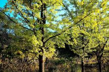 仙女山的银杏叶开始变黄了,难得的艳阳天,万千银杏树在秋阳的照射下,金光灿灿,眩人眼目,蔚为壮观,仿佛
