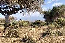Safari in Kenya 从内罗毕-安博塞利(乞力马扎罗山)3小时 安博塞利:很多:跳羚、水牛