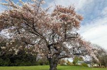 正好碰到新西兰南岛樱花季