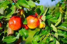 带你看看全瑞典最好的苹果庄园——希维克苹果庄园Kiviks Musteri  我们自驾游的其中一站就