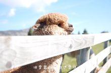 新西兰必体验之萌趣羊驼农场 如果你想在新西兰和羊驼亲密互动,不妨选择在基督城的莎玛拉羊驼农场吧!