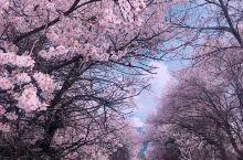 """波密的桃花规模居林芝之最。 有着""""中国最大桃花谷""""美誉的波堆桃花谷, 从318国道边的卡达桥一直绽放"""