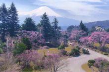 东京赏樱特别地—河口湖 这又是我要强烈推荐的一个赏樱地方,但是这里花开的比东京都晚很多,4月中旬差不