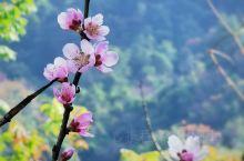 梁化国家森林公园 位于惠州市惠东梁化镇 拥有40公顷青梅林 所以每年的元旦前后是赏梅花的绝佳时期 因