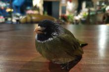 再一次来到芝麻谷,不愧是精灵谷,吃过美味的早餐路过大厅竟然看到一只受伤的鸟被安放在空调暖风口对着的桌