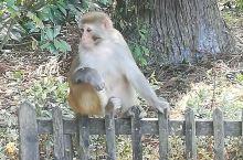 多彩贵州,美丽贵阳,处处皆风景。这是黔灵山公园,珍贵的猕猴已习惯了人来人往,异常谈定的看着熙攘的人群