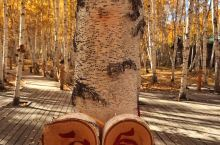 额尔古纳白桦林 景区里的白桦树很多很密集,透过阳光仰望树顶和蓝天很美,有当地人在这里拍婚纱照,景区里