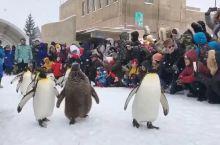 旭川市旭川动物园,网红企鹅一定要来看一下得,看得人很多,企鹅憨态可掬,适合带娃如,娃看得很开心,还有
