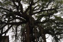 """今天给大家介绍的《黄姚古镇随手拍系列6》的景点是""""龙爪榕。 大榕树就位于黄姚古镇景区大门内的入口处,"""