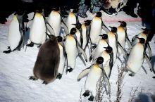 旭川动物是北海道之行必打卡的景点,没有之一哦。每天十一点,憨态可掬的企鹅就会排好队沿着步道散步,它们