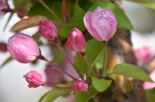 海棠依旧。 三月三,海棠花开。邹城体育中心紧邻唐王河公园东区,盛春时节,桃花、丁香、海棠竞相开放。风