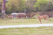 """跑了,那么多囯家""""野生动物园"""",还是第一次抓拍到两只""""花豹""""赛跑呀!"""