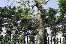 象脚树,原产台湾恒春及兰屿海岸林,分布于澳洲、印度、琉球、马来西亚。脑动大大,我觉得一棵像大象,一棵