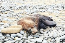 fur seal just 10 meters away from where I stand