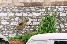 直布罗陀猕猴