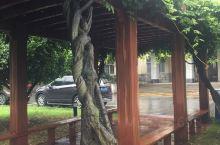 盘根老树。