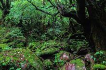 宫崎骏《幽灵公主》秘境——白谷云水峡  屋久岛白谷云水峡 屋久岛是日本雨下的最多的地方,在这里有句俗