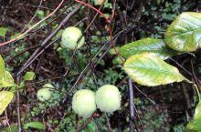 汾阳贾家庄,水泥厂种子影院院里的苹果树。