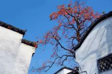 婺源的秋色,婺源的秋韵,秋天来了! 柿子熟了 看过一部连续剧《橘子红了》,依稀记得满园的橘子红了的情