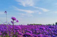 赛汗塔拉城中草原  「DAY 2」  看薰衣草不用去普罗旺斯,来包头市赛汗塔拉生态园感受这紫色的浪漫