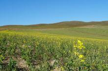 已经入冬时节的东北竟然看到一片油菜花田。
