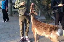 奈良的鹿,其他一点也不温柔的啊,就是想着吃吃吃! 小哥哥真的是很逗了!很调皮! 然后每天都有很多游客