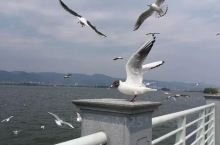 海埂大坝每年的十月份到转年三月份有很多海鸥过冬,观赏滇池海鸥的最佳地点就是海埂大坝