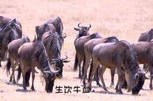 坦桑尼亚也有个战斗民族??  进入塞伦盖蒂大草原后,不论近处或远方,我都会时不时看见几个鲜艳的红色身