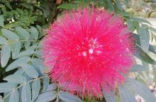 海南澄迈老城 海南澄迈老城1月份仍然是灿烂的花朵,丰硕的果实,明媚的天空,新鲜的空气,宽敞的泳池,让