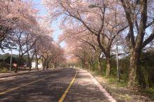 唯美的济州岛樱花大道  4月中旬在济州大学前面的樱花大道,樱花已开始凋零,满地的落英。但余在枝头的粉