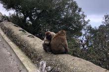 直布罗陀的猴子  直布罗陀位于西班牙的南部,有一块非常标志性的大岩石。远看是大石头,走进了当然就是一