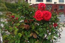 好漂亮的玫瑰花