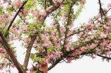 不用去日本 在这里也能看樱花  随着气温升高,已近入晚樱啦 还不抓紧时间来  约上三五好友 带上野餐