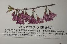 """寒緋桜2月报春 日本樱花种类较多,但属于耐不住寂寞的早樱的主要有洁白无瑕的""""神崎大島""""桜,以及赤血欲"""
