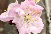 粉樱仙子灿烂登门  今年日本樱花提前开放,街边樱花粉墨登场 又到一年樱花季