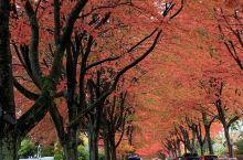 十月下旬的温哥华,枫叶正红时…… 每年的十月中下旬是温哥华枫叶最红的时候,推荐两个最佳的观赏枫叶的街