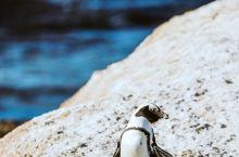 非洲也有小企鹅!在南非开普敦附近的海边小镇西蒙,有一大群呆萌小企鹅,在海滩边玩耍!这里被大家称为企鹅