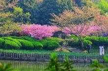 【阳春三月,不负江南】 鼋头渚每年的三月是最热闹的,全国瞩目,是世界最佳赏樱圣地之一。到了这里,才知