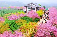 永福樱花园位于福建漳平市永福镇后盂村的茶园和李庄村的台缘山庄。 永福樱花品种主要有中国红、绯寒樱、云