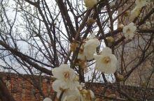 流溪香雪----漂亮的白梅花!