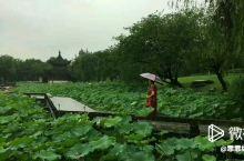 杭州萧山湘湖,大雨中游走在荷花丛中,别有一番情趣。