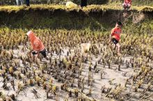 金色九月,纯朴勤劳的哈尼人民迎来了丰收的季节,独特的哈尼红米,美味的稻田鱼