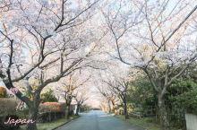 虽然是樱花季, 伊豆 地区游客寥寥, 城崎海岸 的整条樱花大道都没有人,一个人拍拍拍。 JR 东京